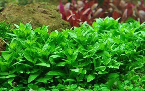 Tropica Aquarium Pflanze Staurogyne repens Nr.049G Aquariumpflanze Wasserpflanzen Anubias