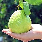 30 PC / bolso de guayaba Semillas de deliciosas frutas tropicales en macetas de plantas no transgénicas bonsai árbol frutal para la planta de jardín de casa 4