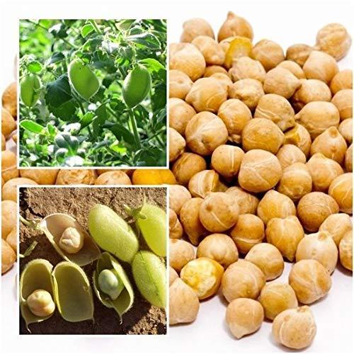 seedsown Samen Keimung: Weiß Kichererbse 100 Samen, Garbanzo Bean, Cicer arietinum, Bio Von Thailand