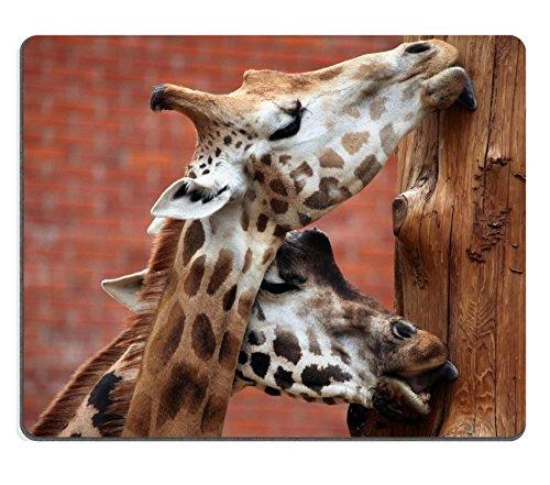 luxlady Gaming Mousepad-ID: 42255067Rothschild Giraffe die Giraffe Giraffe (Sternbild) rothschildi Wildlife Animal