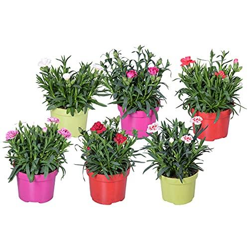 Pflanzenmischung | Nelke - Dianthus pro...