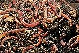 Wurmdaddy // 750 Stück Kompostwürmer Gartenwürmer Regenwürmer für Kompost, Wurmkiste oder Wurmcafe zum Beschleunigen der Umwandlung von Bio Resten und Herstellung von Humus // Wurmhumus
