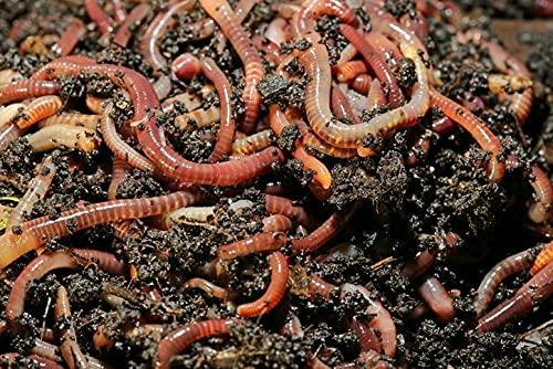 Wurmdaddy // 500 Kompostwürmer // Gartenwürmer // Wurmhumus // Wurmkiste // Wurmcafe // Kompostbeschleuniger