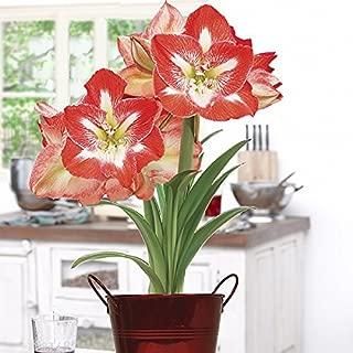 Best minerva amaryllis bulb kit Reviews