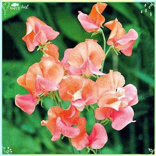 Rare Flower Plant Seeds 50+ Sweet Pea Seeds - Prince of Orange