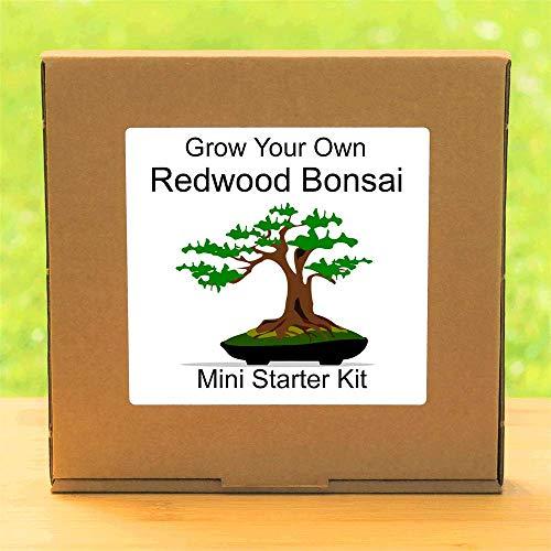 Cultivez votre propre bonsaï californien Redwood – Cadeau d'anniversaire de jardinage