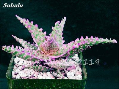 50 Pcs Aloe Vera Graines Beauté comestibles cosmétiques colorés Bonsai Cactus Succulentes Plantes Fleurs Légumes Fruits Graines Pour Balcon 7