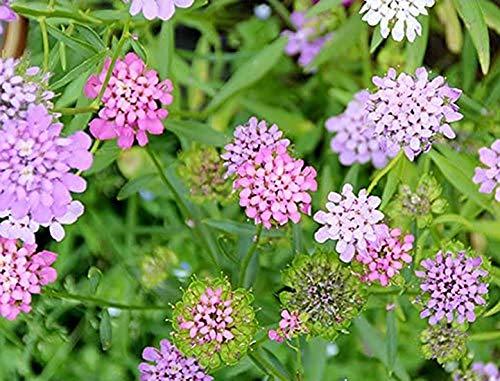 Bittere Schleifenblume - Iberis amara - 100 Samen