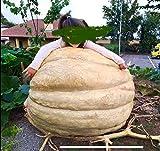Immagine 2 3 semi di zucca gigante