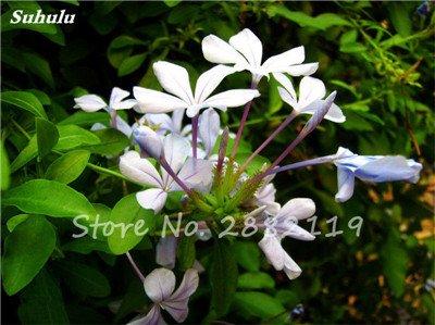 Belle Bonsai Blanc Saxifraga « Neige de printemps » Graines de fleurs vivaces De jardin les plus populaires Nature Plantes à effet de serre 120 Pcs 9