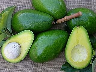 large florida avocado