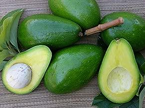 florida hass avocado
