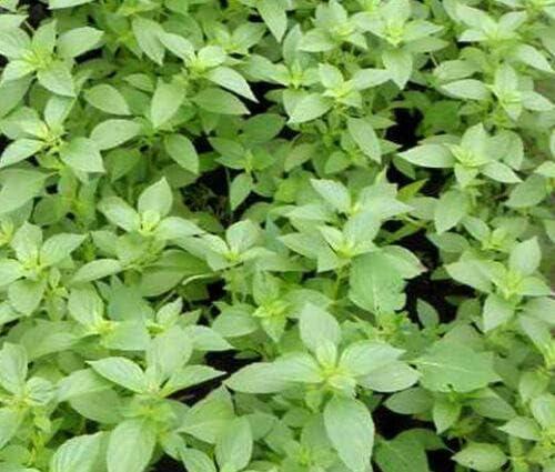 Basil New arrival Lemon Organic Ocimum Ranking TOP6 Basilicum 200 - ct Bulk