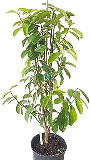 PlantVine Annona muricata, Soursop, Guanabana - Large, Tree - 8-10 Inch Pot (3 Gallon), Live Plant