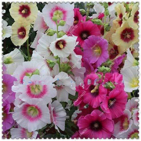 100 Samen/Pack Riesen Dänische Stockrose Samen Topfblumensamen, Bonsai Pflanzen Samen Für Hausgarten