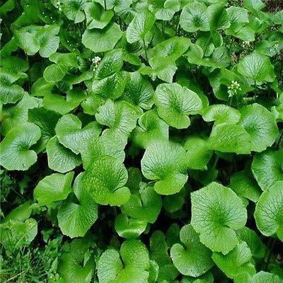 100pcs / lot Graines Wasabi, raifort japonais de semences de légumes pour la plantation facile à cultiver les plantes Bonsai bricolage jardin des plantes