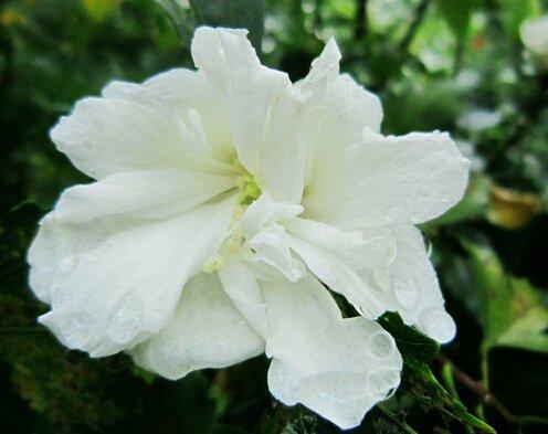 100 Graines géant Hibiscus Fleur Hardy, bricolage jardin en pot ou dans la cour fleur plante, livraison gratuite