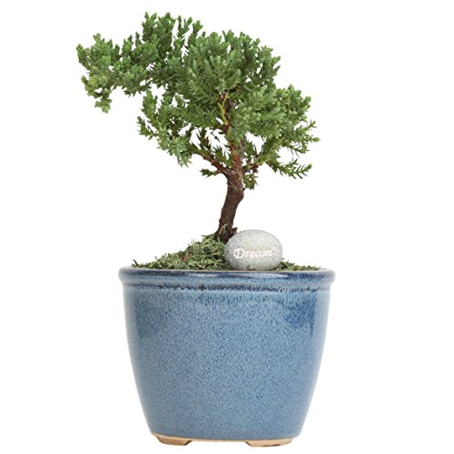 Costa Farms 1-Year Old, Mini Grower's Choice Bonsai Live Indoor Tree with Inspirational Message Home Décor, Light Blue Ceramic Planter