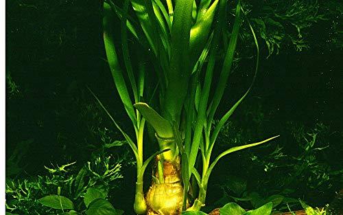 Tropica Aquarium Pflanze Aquariumpflanze Crinum thaianum Nr.093 Wasserpflanzen Aquarium Aquariumpflanzen