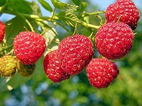 heritage red raspberry plants