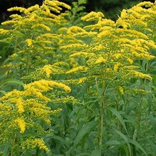 Solidago- Goldenrod- 100 Seeds-