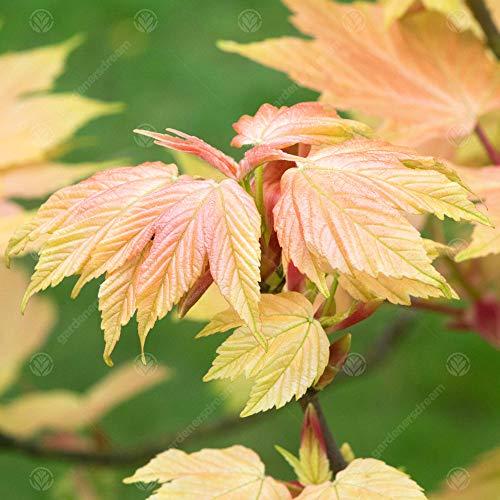 Acer pseudoplatanus Brilliantissimum   Sycamore Tree   Garden Tree   5-6ft