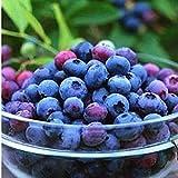 sanhoc zlking 200pcs delicious nero blu mirtillo mirtillo albero da frutto bonsai anti bonsai vaccinium