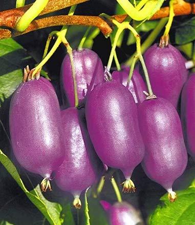 SeedsMarket- Bio 100pcs Purple Heart Kiwis Seeds Fruit Seed winterhardy Perennial Garden Fruit Plants Seeds Gooseberry Seeds for Home Garden