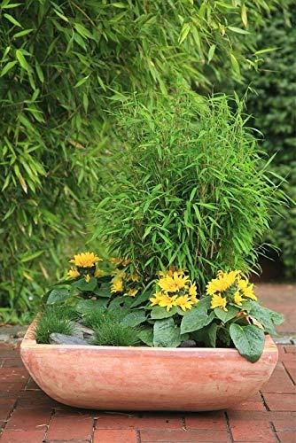Fargesia murielae Bimbo - Zwergbambus Bimbo Preis nach Größe 60-80 cm