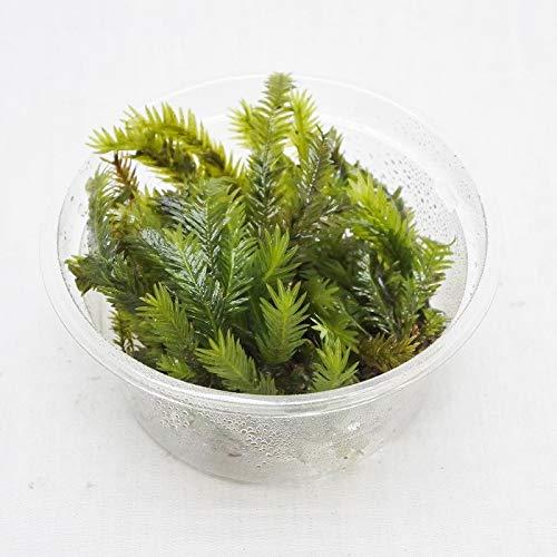 コケのインテリア コケリウム テラリウム 苔盆栽 パック ホウオウゴケ ミニ