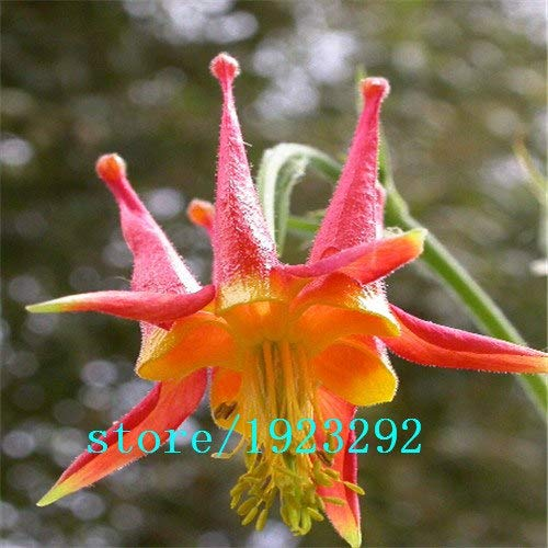 Bloom Green Co. Free shiping 100 Seed strange beautiful blue columbine bonsai DIY homea& garden: Purple