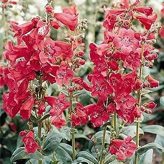 50 seed of penstemon TUBULAR BELLS RED Flower