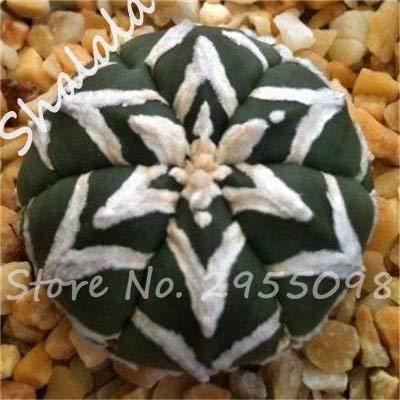 Nouvelle arrivee! 20 Graines frais Succulent Cactus boule Graines, variété de couleurs, Intérieur aérobie Potted haute Germination Graines de fleurs 11