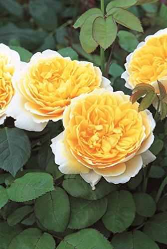 Englische Rose Charlotte im 7 Liter Rosentopf