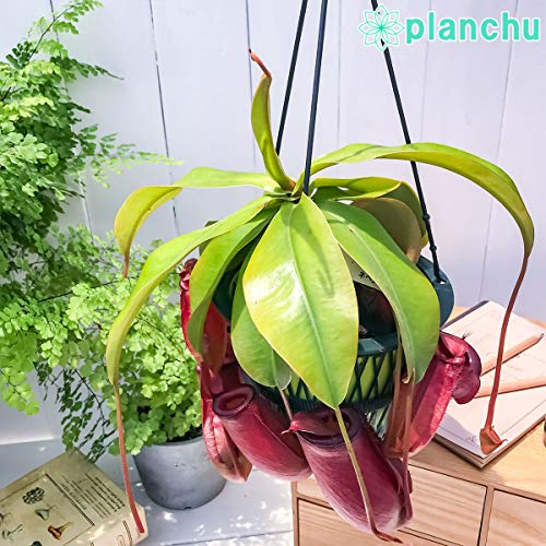 食虫植物 ウツボカズラ ネペンテス レディラック 5号吊り鉢 Nepenthes 'Lady Luck' 育て方説明書付き