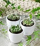 BALDUR-Garten Lebende Steine - Lithops 3er-Mix,3 Pflanzen