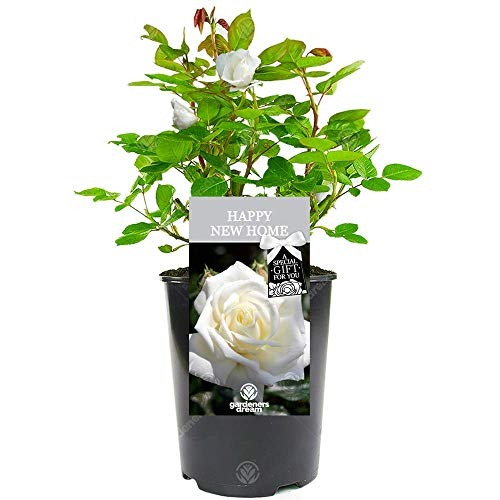 Happy New Home Rose - Housewarming New House Gift - Celebrate a New Home, First House, Big Move with a Unique Living Plant Gift