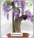 Seedsown Bonsai Seeds adecuados Jacaranda Acutifolia Imported Bonsai Seeds adecuados Seed