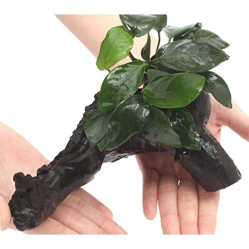 (水草)アヌビアスナナ 付流木 Mサイズ(1本)(約20cm) 本州・四国限定[生体]