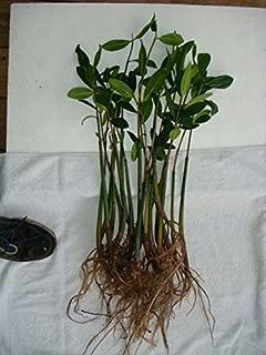 AQUACULTURE NURSERY FARMS Mangrove Tree 18