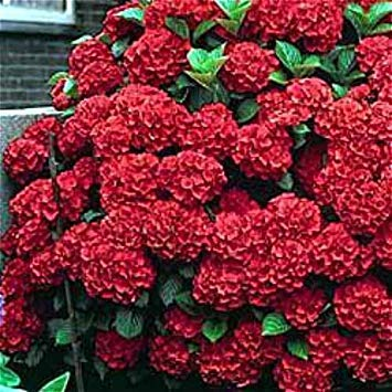 VISTARIC Army Green: Double 11 Vente de graines hortensia Planter Bonsai Seed Flower Garden Plantes plantes en pot Accueil ornement Color Mix Flores Pot