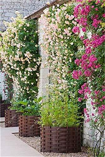 3: 100 piezas de semillas de jazmín trepadoras exóticas semillas de jazmín coloridas planta fragante semilla de jazmín árabe planta de bonsái jardín de su casa