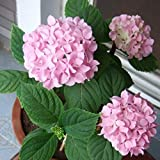 edqz - semi di fiori in primavera, 20 pezzi di ortensie, fiori per casa, ufficio, giardino e bonsai, rosa, hydrangea seeds
