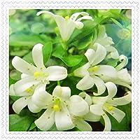 チューベローズ チューベローズ球根 奇妙な花柄 純粋で美しい エレガントでかわいい 庭で栽培 簡単な植え付け-30 球根