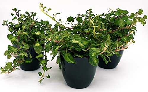 Incienso de plexiglás verde y verde claro, maceta de 14 cm, 3 plantas, plantas auténticas