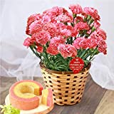 母の日ギフト 花鉢カーネーション 鉢花 花とスイーツセット 人気ギフトセット 5号鉢 (ピンク)