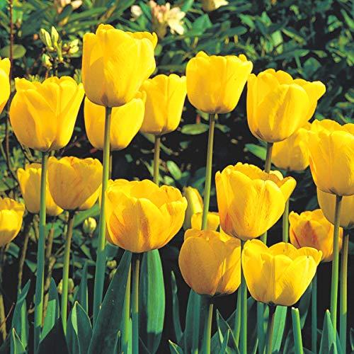 BULBi® Holland - Tulpenzwiebeln GOLDEN APELDOORN - Farbe: Gelb | 25x Zwiebeln | Auf Amazon Lager | Darwin-Hybride Tulpen sind starke Tulpen mit langen, robusten Stielen und einer langen Blütezeit.