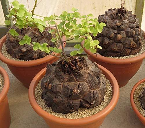 PLAT FIRM Germinación de las semillas: 3pcs Semillas Bonsai Dioscorea elephantipes Caudex planta suculenta rara ornamentales