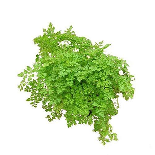 Kerbel Pflanze, Anthriscus cerefolium, frischer Kerbel aus Nachhaltigem Anbau