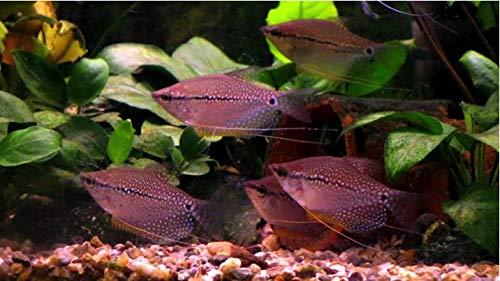 【熱帯魚・アナバス】 パールグラミー ■サイズ:Mサイズ (5匹)